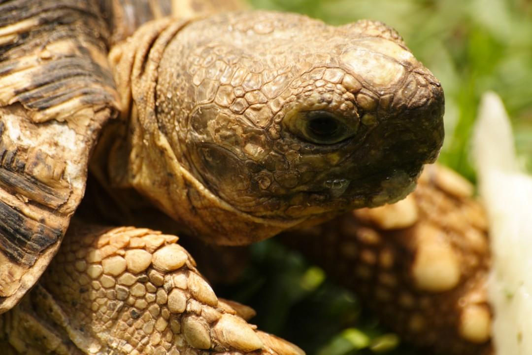 Land Turtle Close