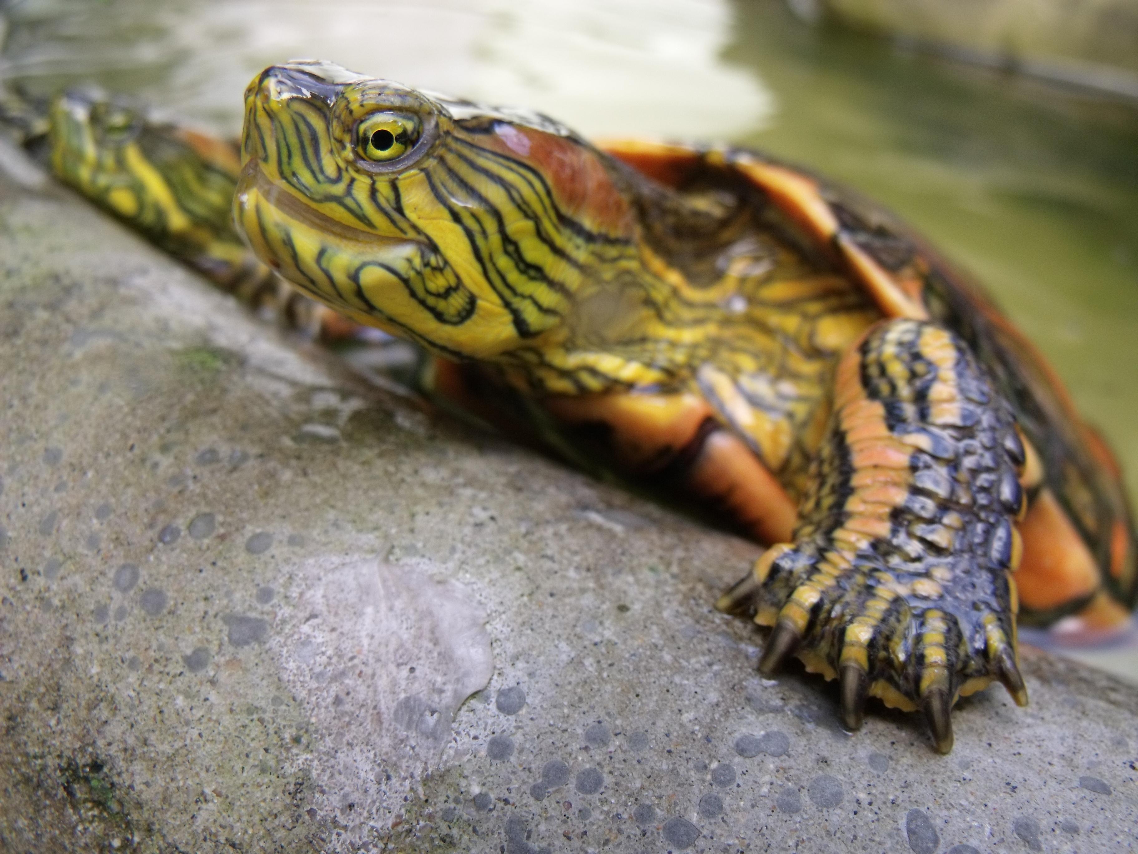 Painted Turtle All Turtles