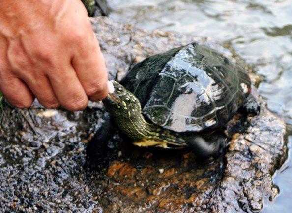 Turtle-Feeding