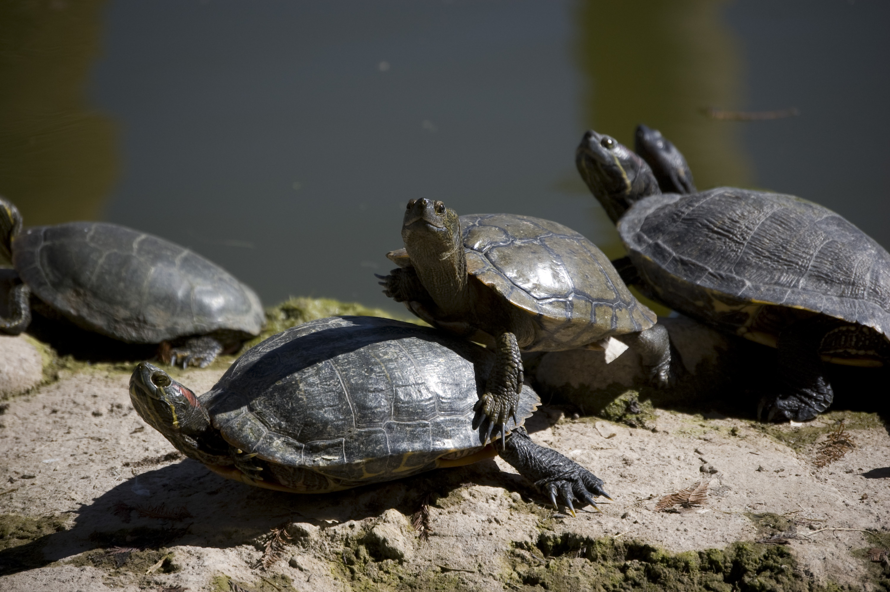 Can Two Painted Turtles Live Together