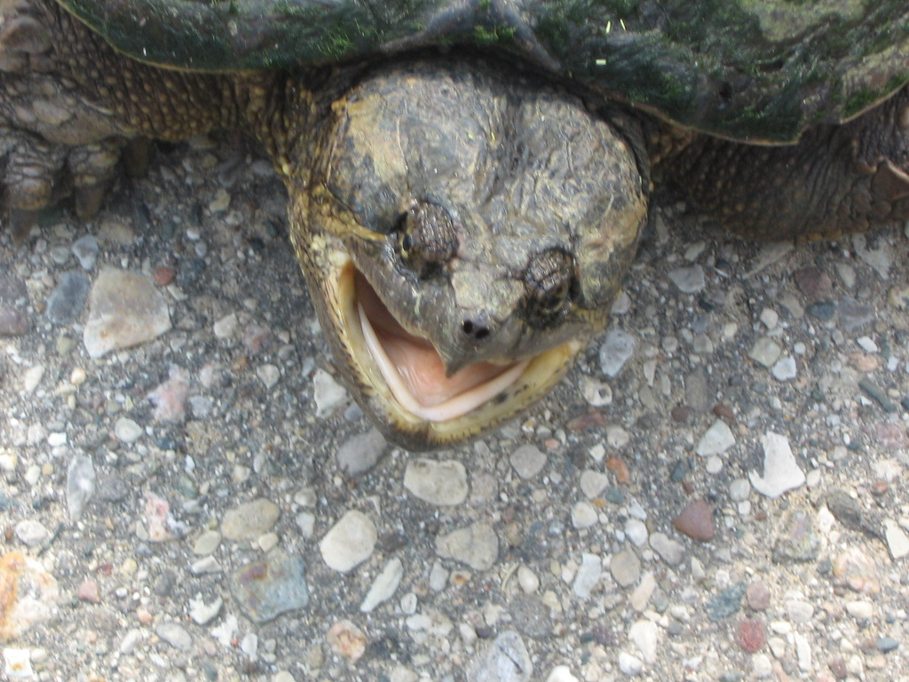snapping turtle facts all turtles