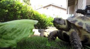 Russian Tortoise Care Guide