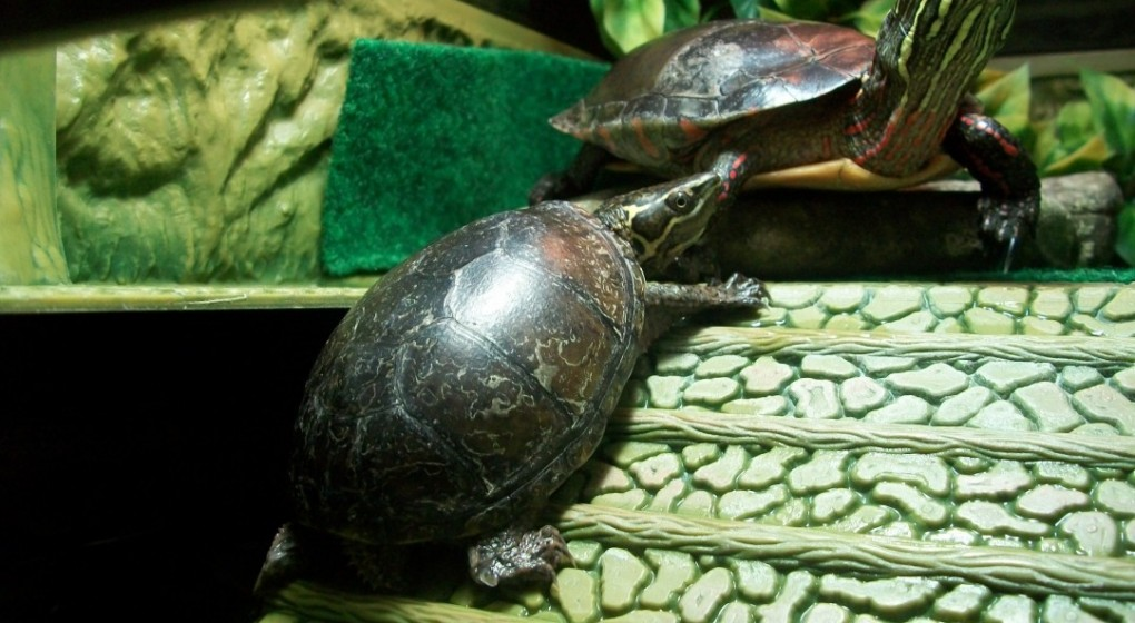 2 Slider Turtles