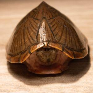 Adult female razorback musk turtle (Sternotherus carinatus)