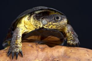 African Dwarf Mud Turtle