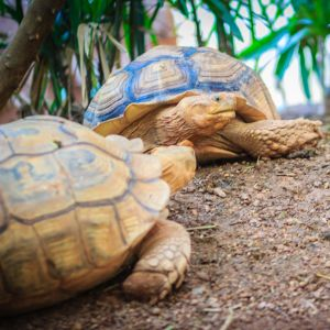 African Spurred tortoises (centrochelys-sulcata)