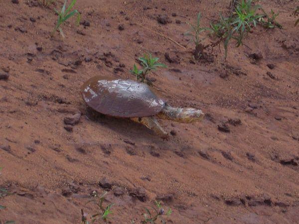 African Helmeted Turtle (Pelomedusa subrufa)