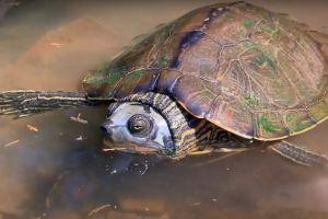 Alabama Map Turtle (Graptemys pulchra) in water looking at camera