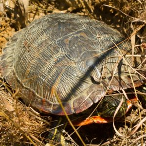 Alabama Red Bellied Cooter (Pseudemys alabamensis) in brush