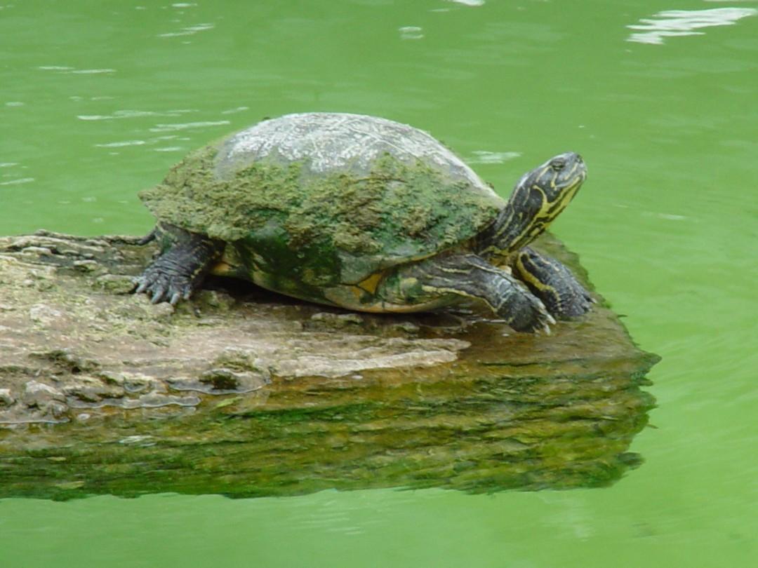 Сколько живут черепахи в домашних 77