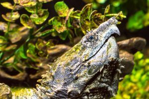 Alligator Snapping Turtle Head