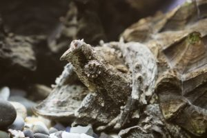 Alligator Snapping Turtle Jaw open