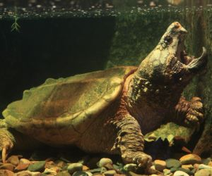 Alligator Snapping Turtle (Macrochelys temminckii) in large tank with jaw open