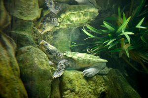 Alligator Snapping Turtle in habitat