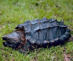 Alligator snapping turtle in Wyoming