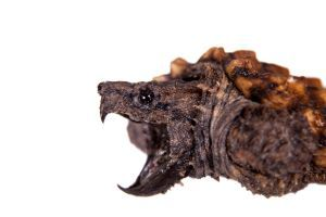 Alligator snapping turtle on white