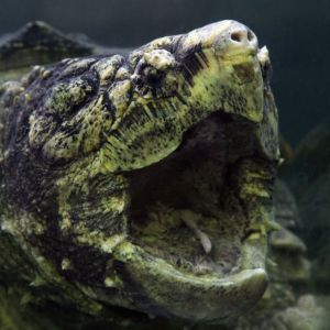 Alligator snapping turtle with healthy mouth open underwater