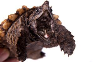 Alligator snapping turtle with jaw open