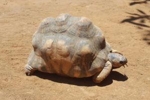 Angonoka-Tortoise