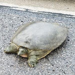 Apalone spinifera (Spiny Softshell Turtle)
