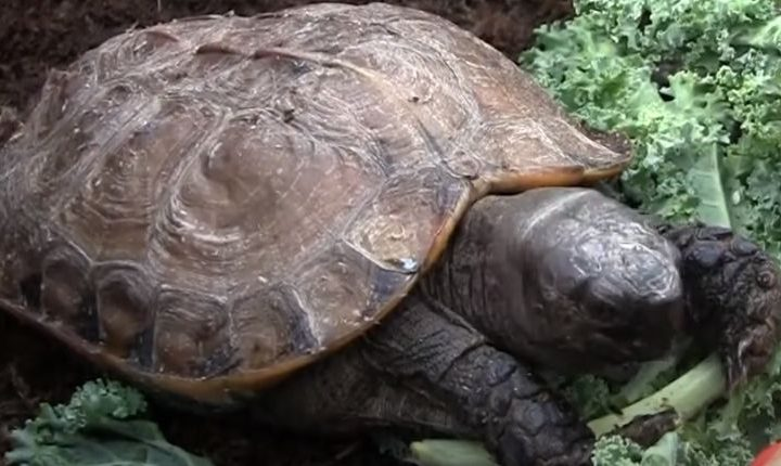 Arakan Turtle