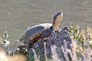 Arizona mud turtle (Kinosternon stejnegeri)