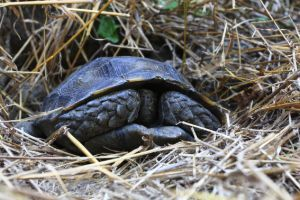 Asian brown tortoise recessed in shell