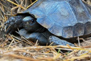 Asian forest tortoise on straw