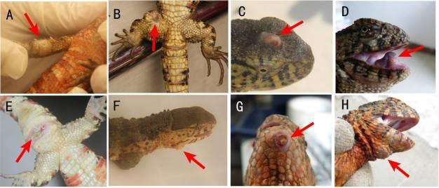Austwickia Chelonae in reptiles