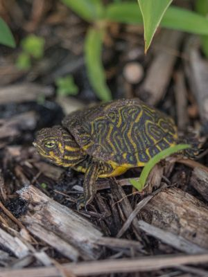 Baby Eastern river cooter (Pseudemys concinna concinna) in brush on shoreside about 1 inch in size