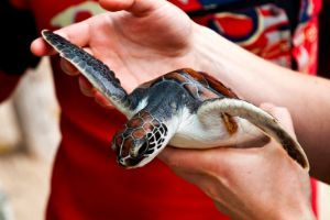 sea turtle flippers