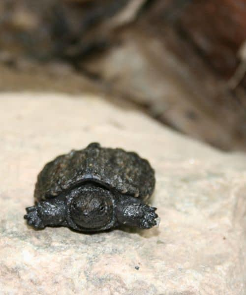 Baby Turtle Care (with Video Guide) - All Turtles