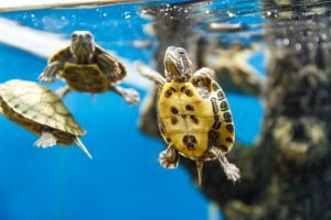 Baby red eared sliders swimming in tank