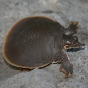 Baby smooth softshell turtle (Apalone Mutica) on rock