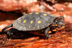 Baby spotted turtle in enclosure