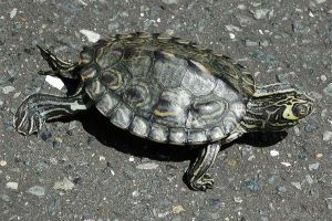 Barbour's Map turtle (Graptemys barbouri). The species is endemic to the southeastern United States