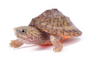 Best pet turtles