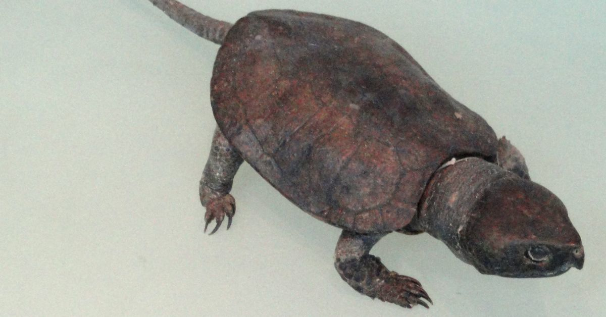 Big Headed Turtle (Platysternon Megacephalum) (1)