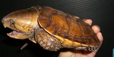 Big Headed Turtle being held