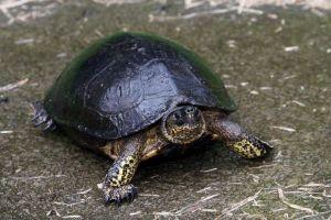 Black Wood Turtle (Rhinoclemmys funerea)