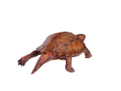 Black breasted Leaf Turtle (Geoemyda spengleri) tail shot