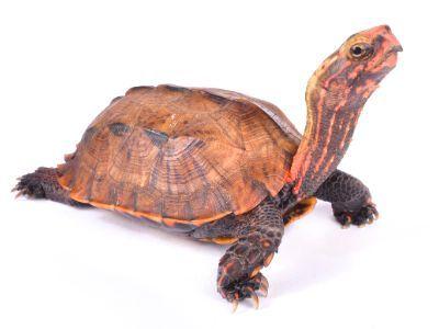 Black breasted Leaf Turtle (Geoemyda spengleri)