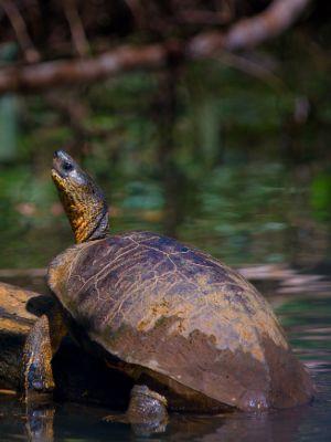 Black wood turtle (Rhinoclemmys funerea) basking on log