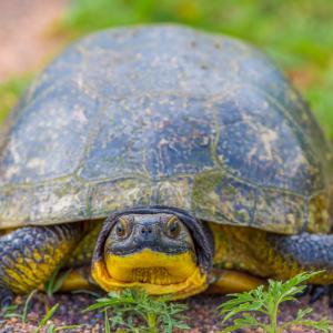 Blandings Turtle (Emydoidea blandingii) at Crex Meadows Wildlife area