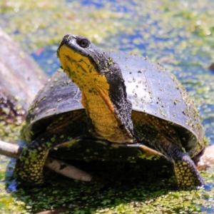 Blanding's Turtle - Emydoidea blandingii basking on top of a fallen tree