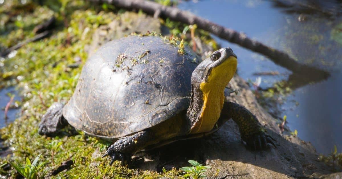 Blanding's turtle Emydoidea blandingiiii