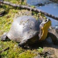 Blanding's_turtle_(Emydoidea_blandingii)small