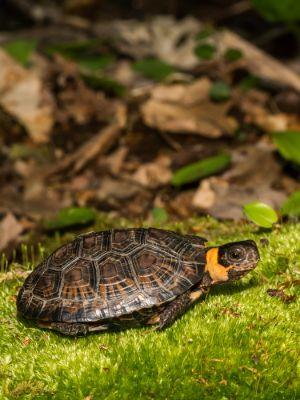 Bog Turtle (Glyptemys muhlenbergii) on grass near foliage
