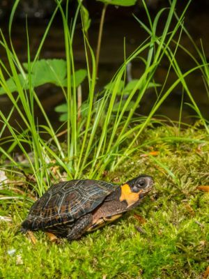 Bog Turtle Habitat