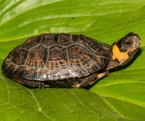 Bog Turtle On Leaf